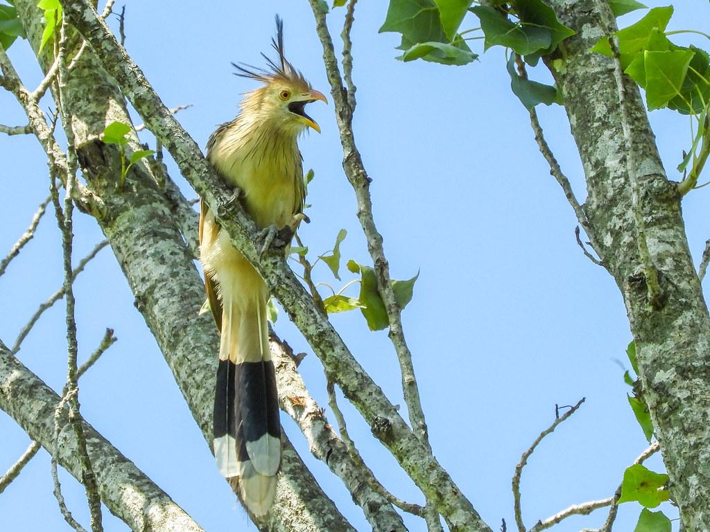 Pirincho - Guira cuckoo