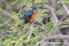 Common Kingfisher (Alcedo atthis taprobana), female DSD_5295