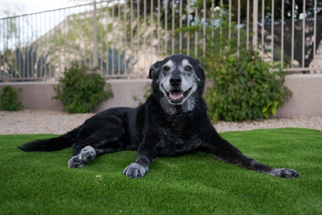 Our dog Ellie appears to be smiling as she relaxes on the artifical turf on her last evening with us