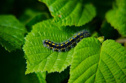 Lesser tortoiseshell butterfly caterpillar, Wilmcote