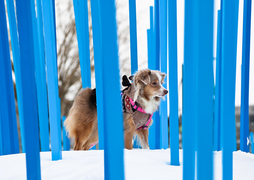 laika dog aussie toyaussie australianshepherd toyaustralianshepherd redmerle montreal canada snow