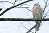 Shikra (Accipiter badius) 褐耳鷹 by Nelson Wong Wildlife