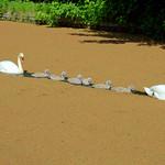 Long swan family