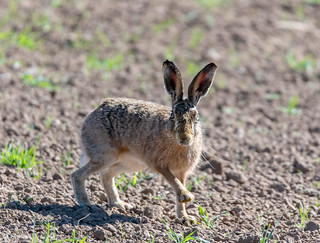 Startled Brown Hare.