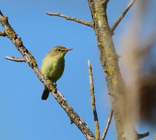 melodious polyglot warbler