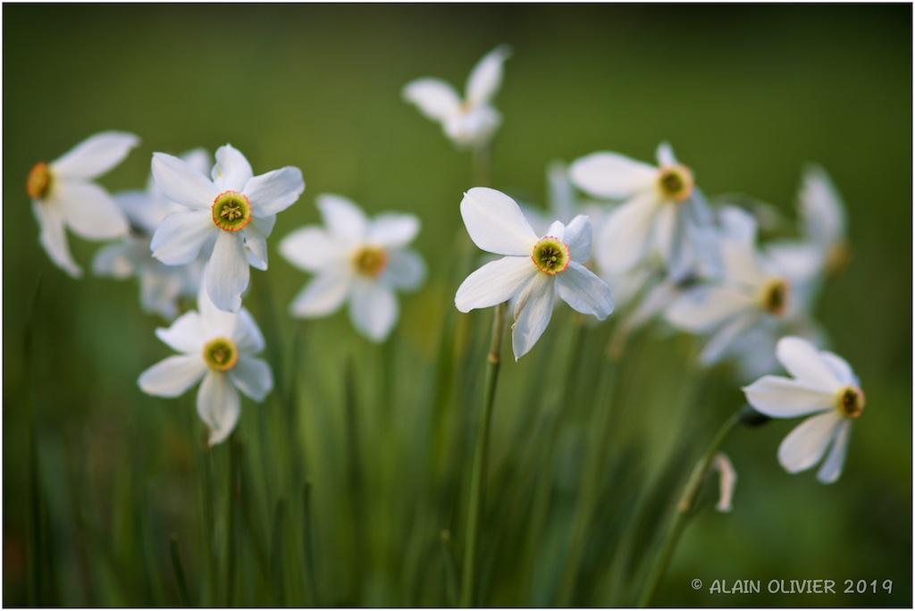Narcissus 46985865045_0d5f75c9cb_b