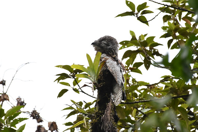 Great Potoo. Arenal Observatory Lodge. Alajuela, Costa Rica.