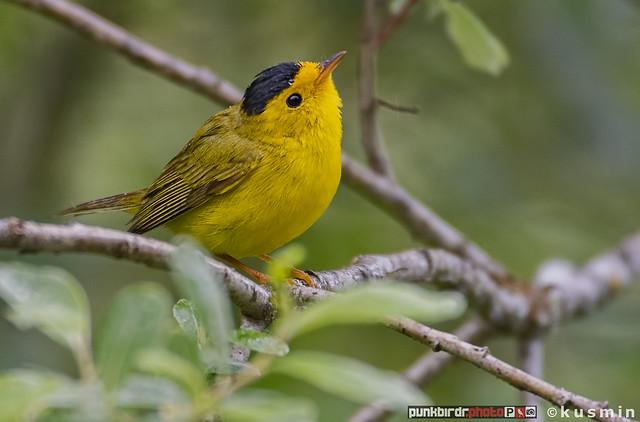 wilson's warbler (wilsonia pusilla)