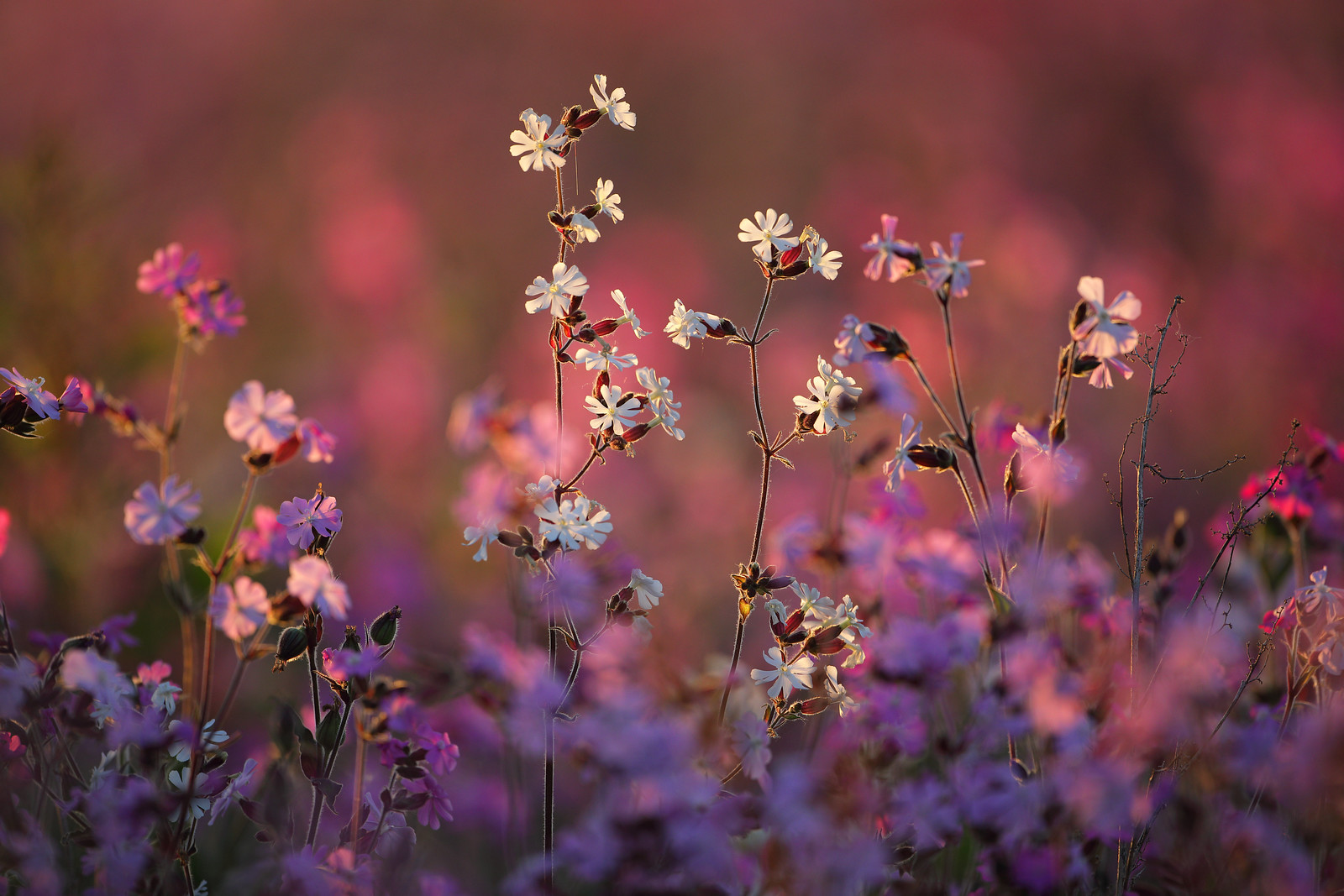 Wild Campion Meadow