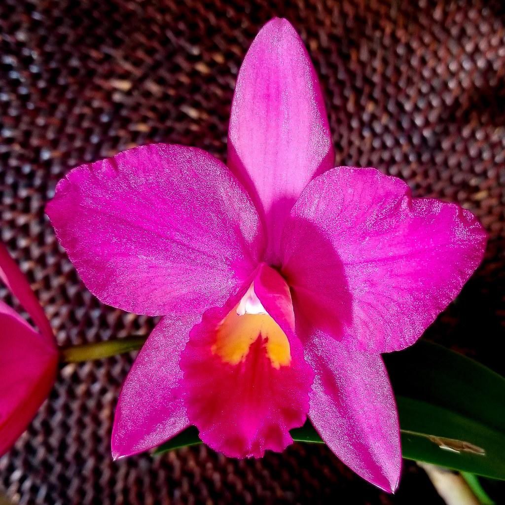 Pot. Dennis Roessiger 'Hot Pink'