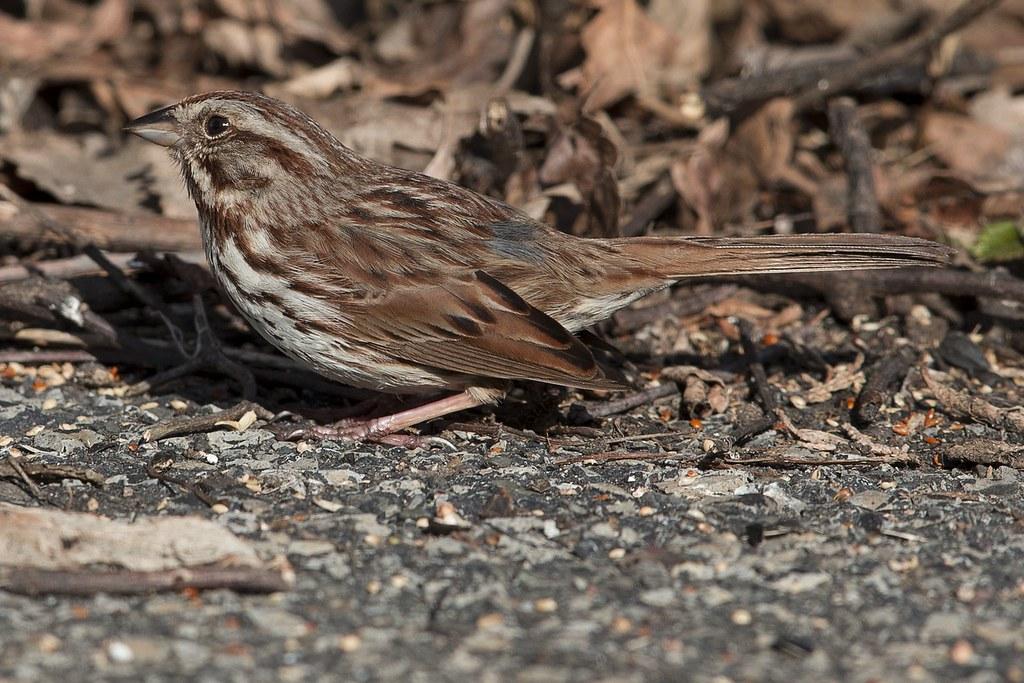 Quelques oiseaux de ma cour hier 46988022474_b9163a2530_b