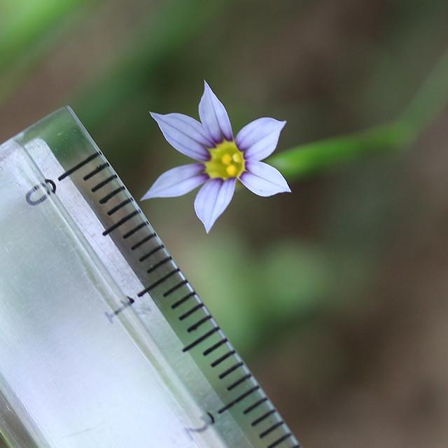 ダイソー 分度器付き 折りたたみ定規 花のサイズ