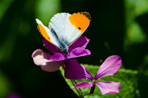 Honesty, orange tip butterfly