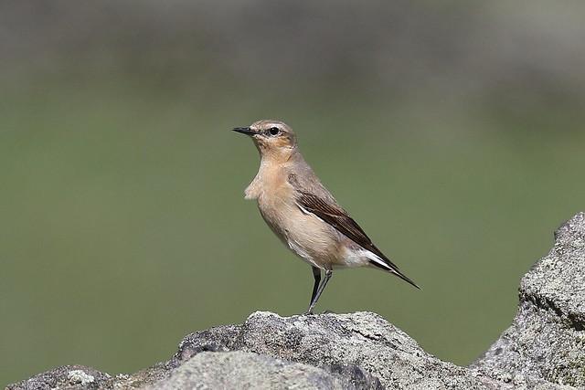 Northern Wheatear (Oenanthe oenanthe leucorhoa) - female