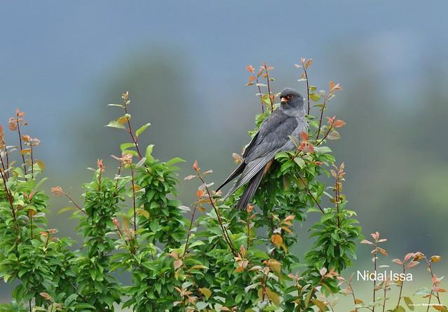 Red footed falcon - faucon kobez- falco vespertinus...