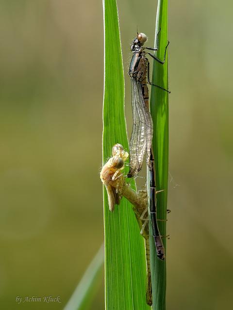 Beim Libellenschlupf life dabei