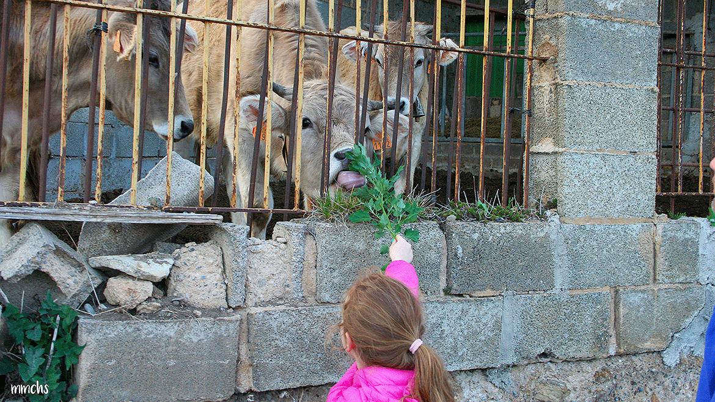 niña dando de comer a las vacas Pirineos