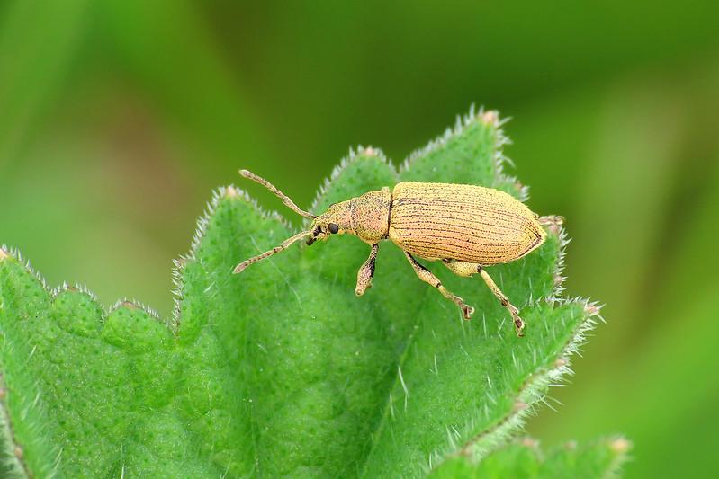 Green Leaf Weevil - Phyllobius maculicornis