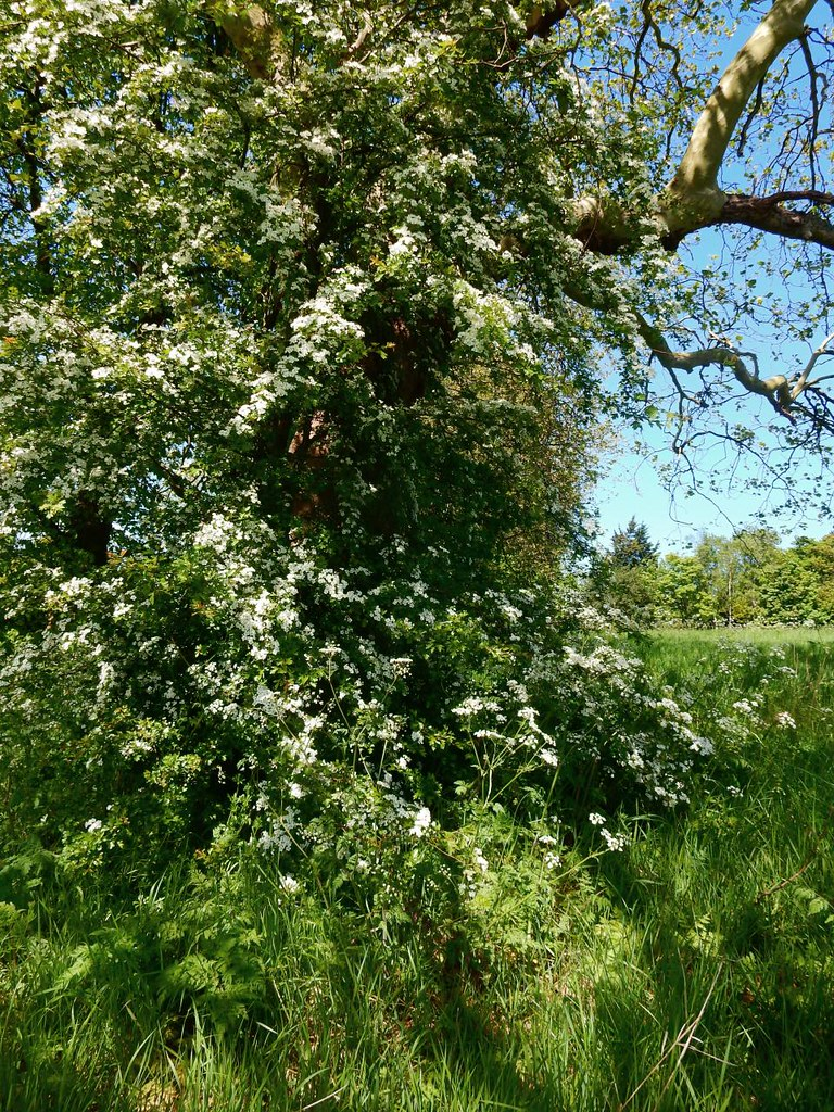 Flowering Hawthorn Totteridge Circular