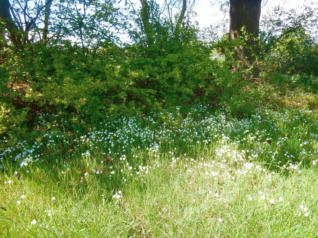 Stitchwort Totteridge Circular