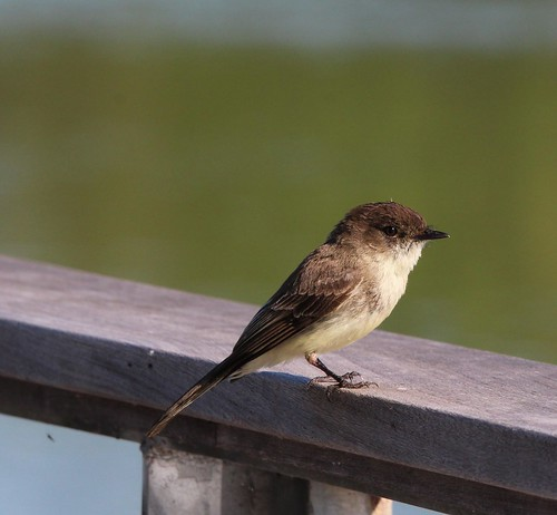 Northern Phoebe Fort Worth Nature center 5-5-19 | by johnd1964