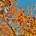 010112 dabfoto creative stock - golden leaves and blue sky