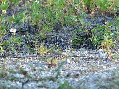 Common Nighthawk female incubating 01-20190522