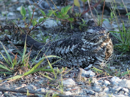 Common Nighthawk female incubating 02-20190522