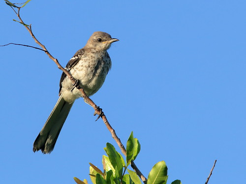 Northern Mockingbird juvenile 01-20190522