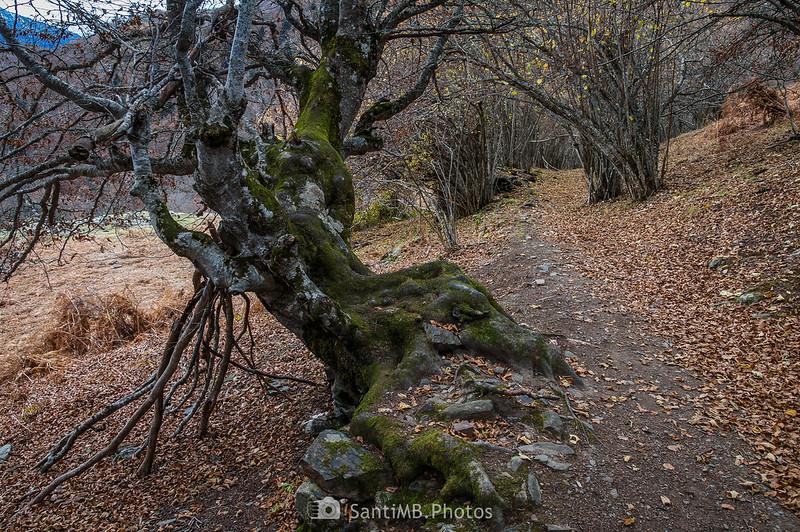 Una haya en la parte alta del Bosc de Carlac