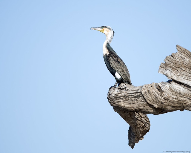 White-Breasted Cormorant, Phalacrocorax lucidus, Msuna Fishing Resort, Zambezi River, Zimbabwe