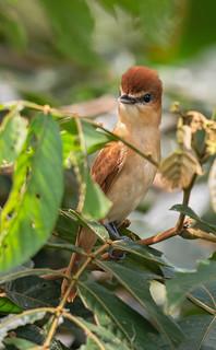 Pachyramphus cinnamomeus - Cinnamon Becard - Anambé Canelo - Cabezón Canelo 05