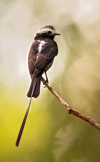 Colonia colonus - Long-tailed Tyrant - Mosquero Colilargo - Atrapamoscas Rabijunco 08