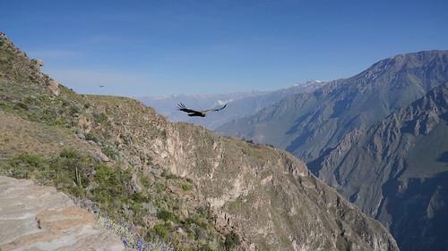condor canyonducolca colcacanyon condorcross croixducondor oiseau bird duo montagne mountain canyon landscape paysage andes andeanpérou peru sony ilce7m2 alpha7ii avril april