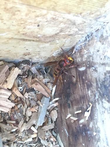 Ook kwamen we weer een hoornaar tegen