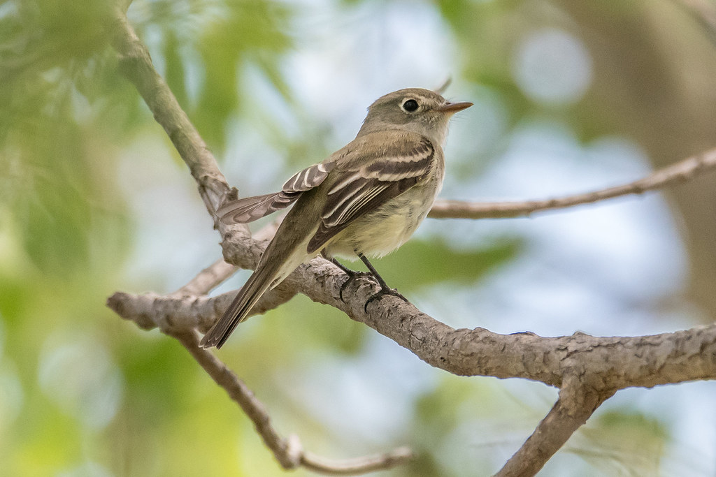 Least Flycatcher and Yellow Warbler-24