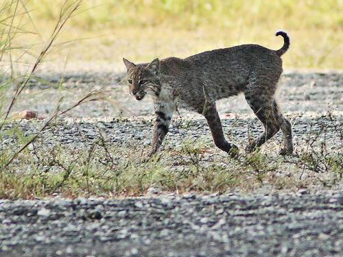 Bobcat male 01-20190505