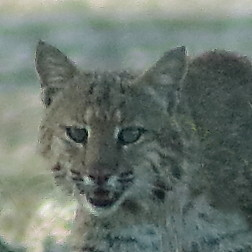 Bobcat male face 05-20190505