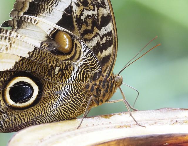 Mariposa buho.