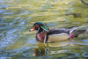 Wood Duck motoring along by lamoustique