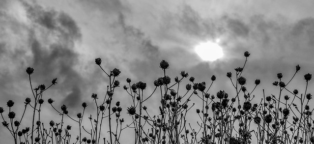 Sun, Clouds and Dried Wildflowers