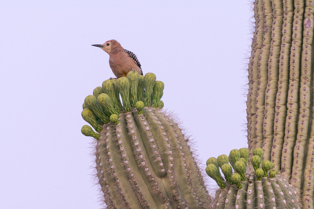 A male Gila woodpecker perches on saguaro buds with his face covered in pollen on the Upper Ranch Trail in McDowell Sonoran Preserve in Scottsdale, Arizona