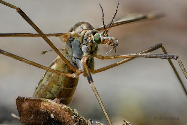 Schnake (Tipulidae) mit Kugelspringer (Collembola)