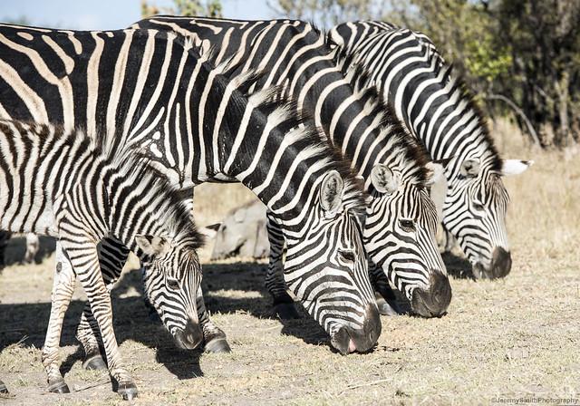 Burchell's Zebra, Equus quagga burchellii, Farmhouse Lodge, Matopos, Zimbabwe