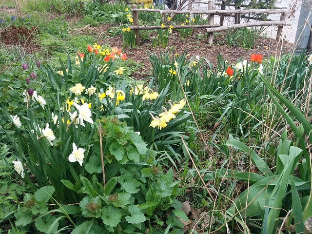 Tulips and daffodils and lilies by Queen Street West #toronto #queenstreetwest #frontyard #gardens #900queenstreetwest #red #tulips #yellow #daffodils #white #lilies