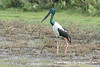 Black-necked Stork (Ephippiorhynchus asiaticus asiaticus), male DSD_5629 by fotosynthesys