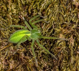 Green Huntsman ♀