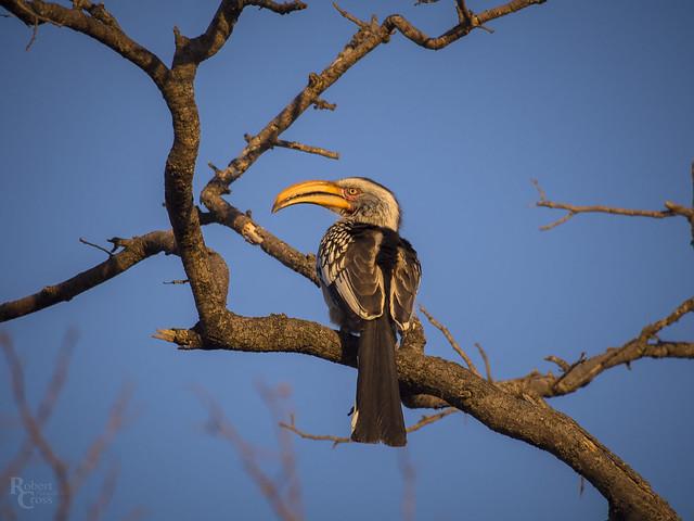 Yellow-Billed Hornbill at Sunset