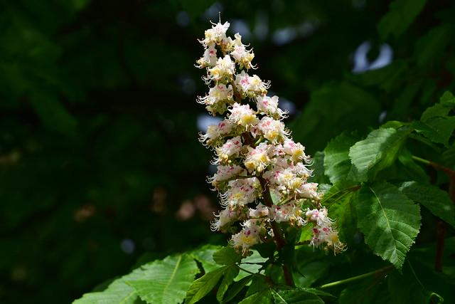 Flower of Chestnut