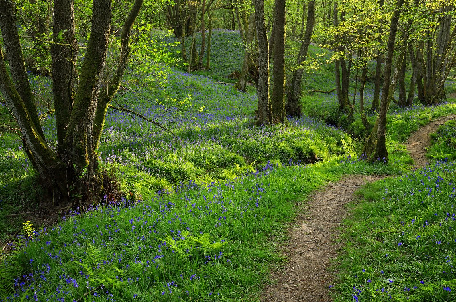 High Weald Bluebell Woodland Path